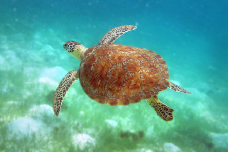 Grenadines SeaTurtle